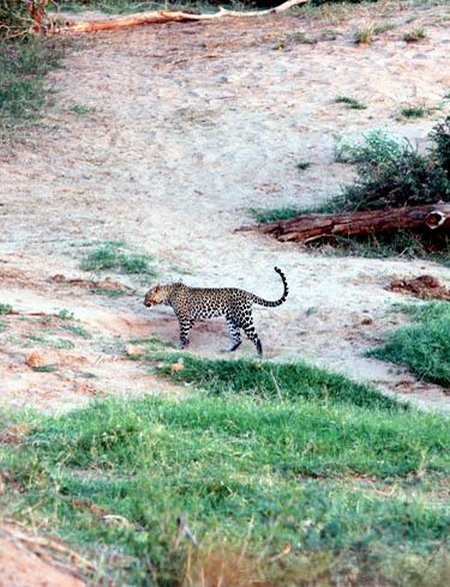 Der Beweis - ein Leopard